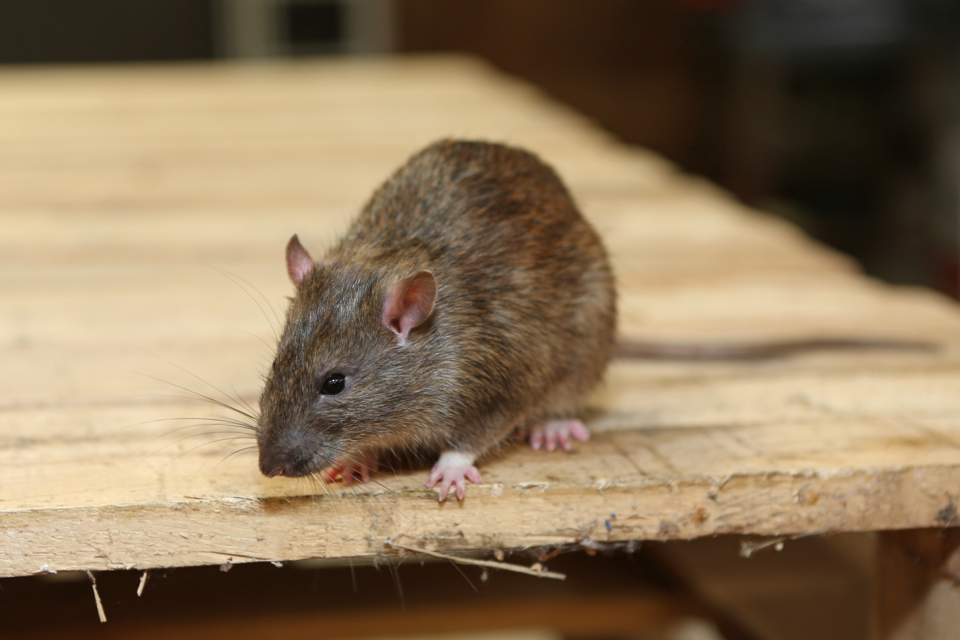 Rat Control, Pest Control in Winchmore Hill, N21. Call Now 020 8166 9746