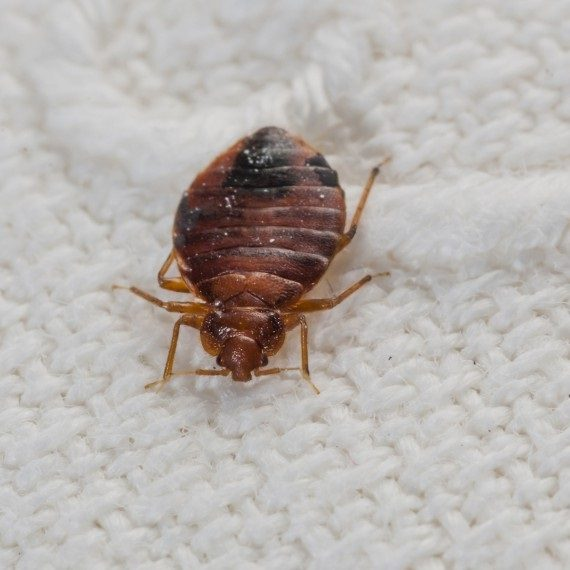 Bed Bugs, Pest Control in Winchmore Hill, N21. Call Now! 020 8166 9746