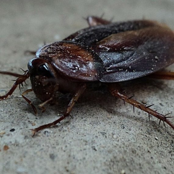 Cockroaches, Pest Control in Winchmore Hill, N21. Call Now! 020 8166 9746