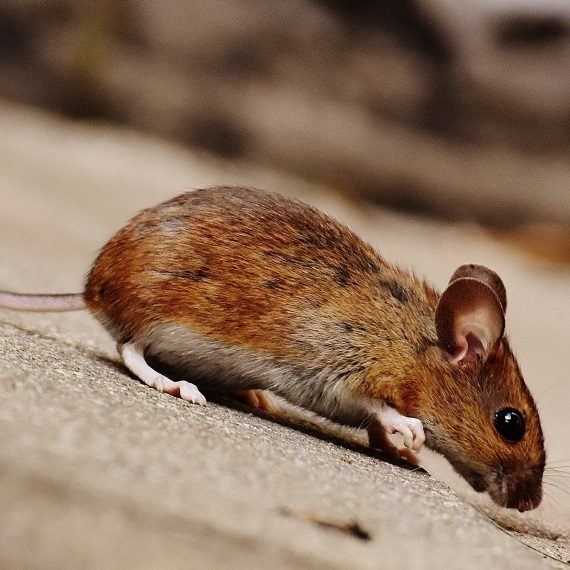 Mice, Pest Control in Winchmore Hill, N21. Call Now! 020 8166 9746