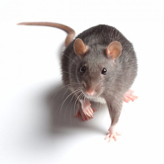 Rats, Pest Control in Winchmore Hill, N21. Call Now! 020 8166 9746