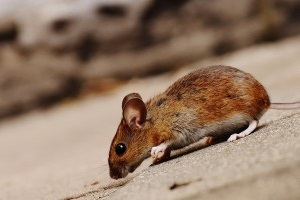 Mice Exterminator, Pest Control in Winchmore Hill, N21. Call Now 020 8166 9746