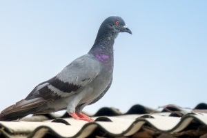 Pigeon Pest, Pest Control in Winchmore Hill, N21. Call Now 020 8166 9746